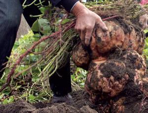 Schimbările climatice duc la supradimensionarea cartofilor