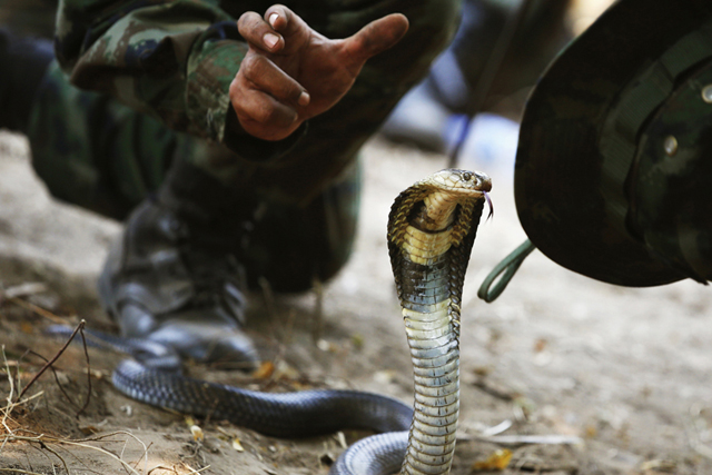 A Thai Navy instructor demonstrates to U.S. Marines how to catch a cobra during a jungle survival exercise in Chon Buri province