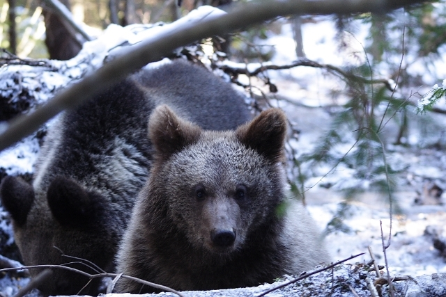 Two bear cubs in Harghita orphanage in december 2013