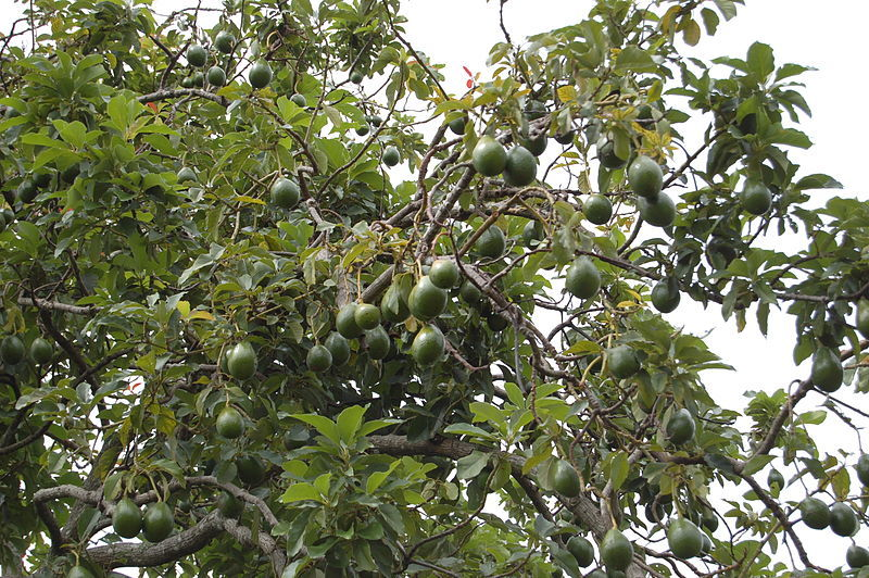 800px-Avocado_Tree_(2473587957)