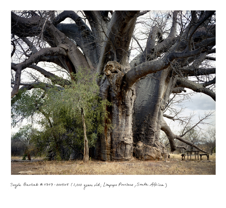 Baobab_sagole_0707_00505