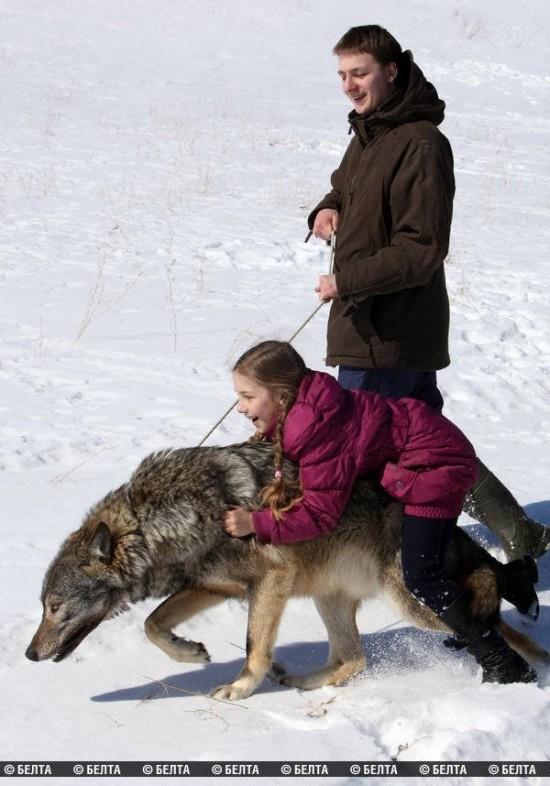 stire 21 aug lupi 1