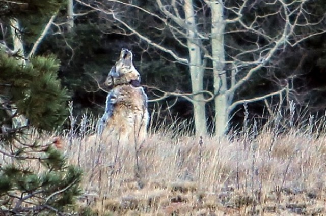 sn-wolf