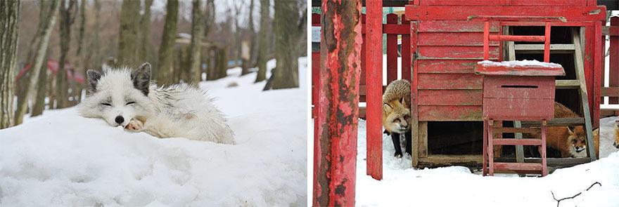 stire 9 feb vulpi 11