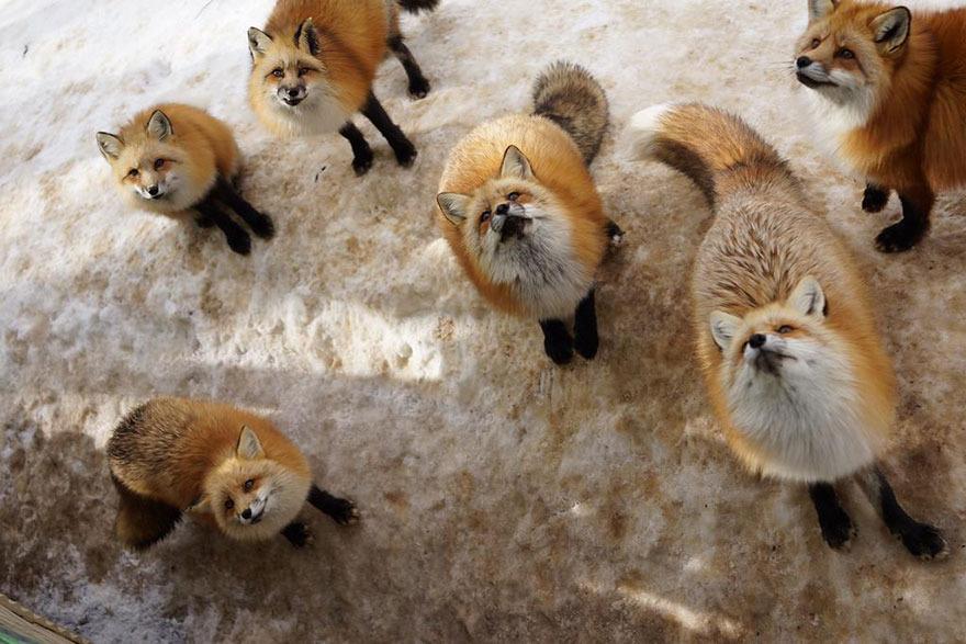 stire 9 feb vulpi 13