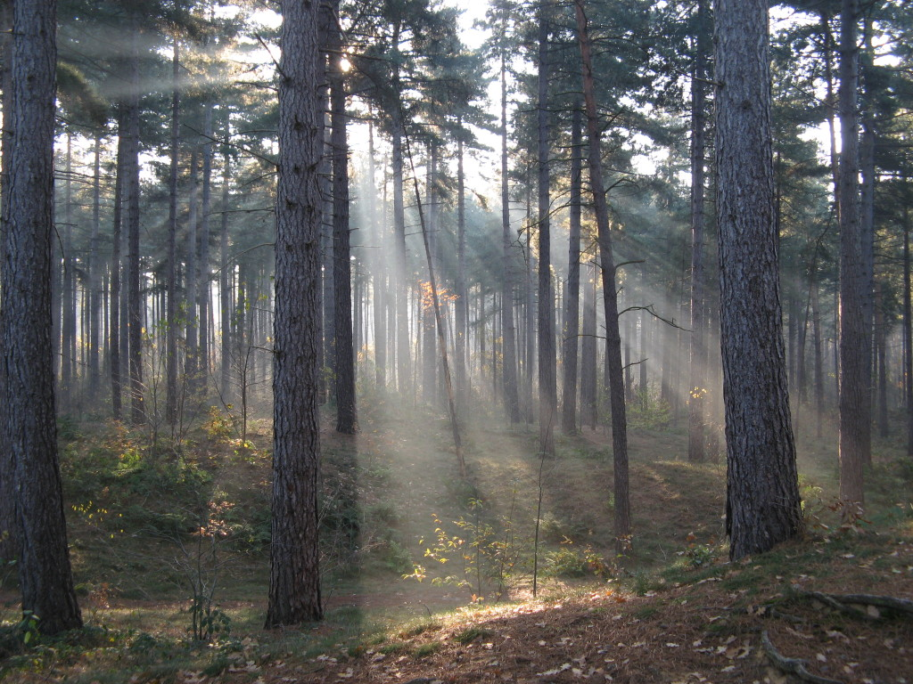 Crepuscular_rays_in_the_woods_of_Kasterlee,_Belgium