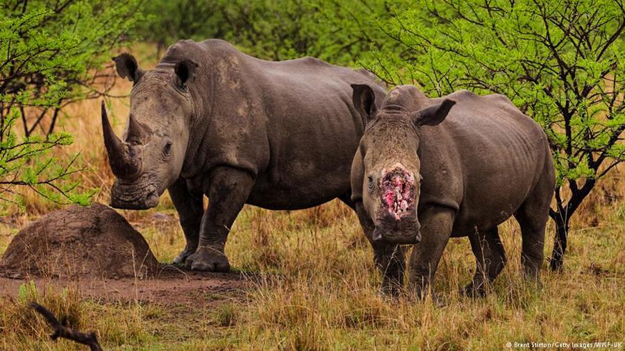 4_northern-white-rhino