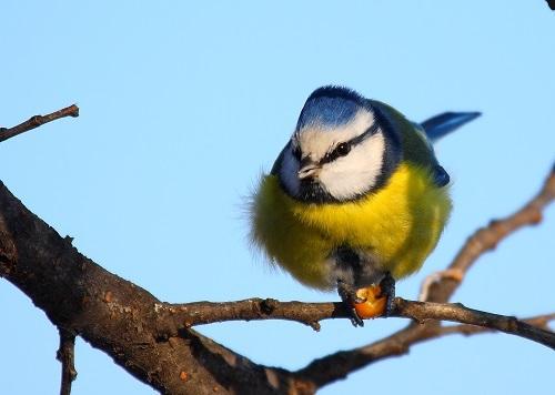 Pitigoi albastru_credit foto Razvan Zinica_presa