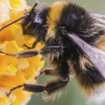100.000 de apicultori germani solicită interzicerea organismelor modificate genetic