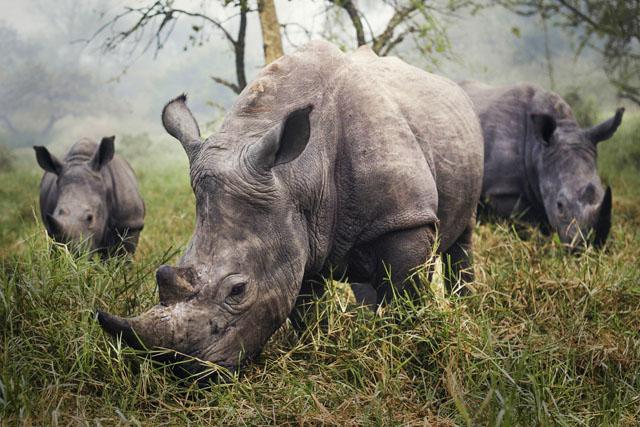 "Mențiune: ""Rinoceri albi,"" de Stefane Berube"