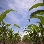 Scoţia va interzice cultivarea organismelor modificate genetic