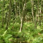 Biologii recomandă tăierea salcâmilor şi coniferelor din zona protejată Făgetul ..