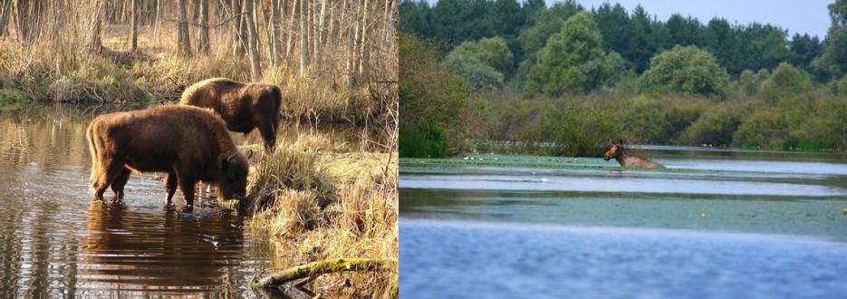 Biozoni şi un elan care se bălăceşte. FOTO: Valeriy Yurko