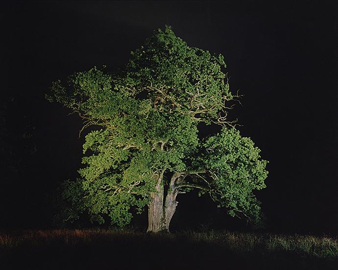 Stejarul din Breite, județul Mureș. FOTO: Florin Ghenade