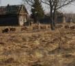 Mistreţii aleargă prin fostul sat din zona de excludere a centralei nucleare de la Cernobîl. FOTO:  Valeriy Yurko/Tatyana Deryabina