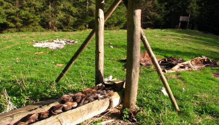 Nadă amplasată ilegal la limita Parcului Național Rodna. Foto: Universității de Științe Agricole și Medicină Veterinară din Timișoara