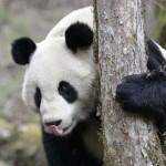 Tăietorii de lemne din China distrug sanctuare ale urşilor panda, ..