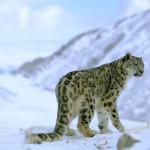 Leoparzii de zăpadă, o altă specie în pericol din cauza ..
