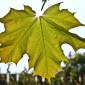 Un chimist vrea să obţină combustibil verde cu ajutorul frunzelor ..