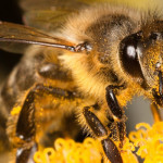 Primul stat american care va interzice pesticidele dăunătoare albinelor