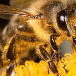 Declinul albinelor: stupi închiriați și soiuri autopolenizatoare