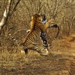 Populația de tigri din lume începe să crească pentru prima ..