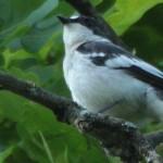 O nouă specie de pasăre, cuibăritoare, în fauna României