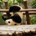 Urșii panda au fost scoși de pe lista speciilor în ..