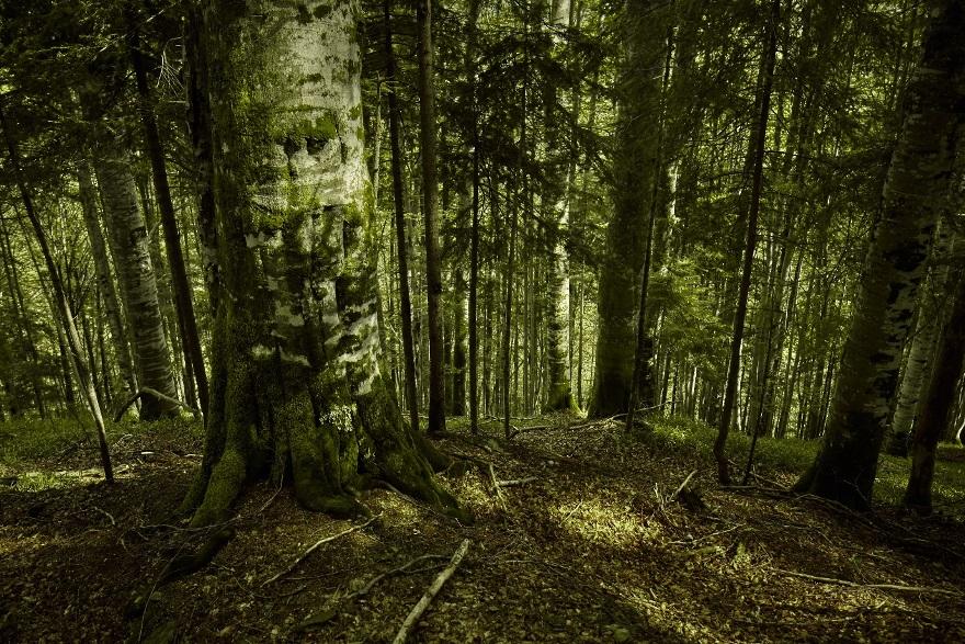 Pădurea virgină Mușeteica - în Munții Făgăraș © Mitja Kobal